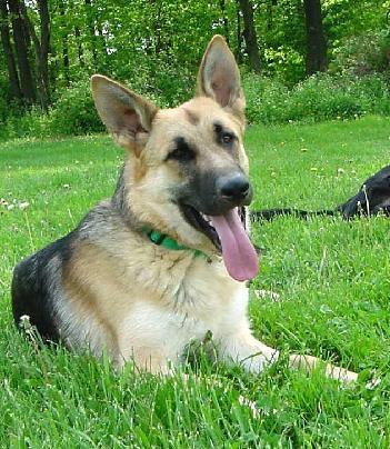 German Shepherd Blue And Tan German shepherd dogs a...